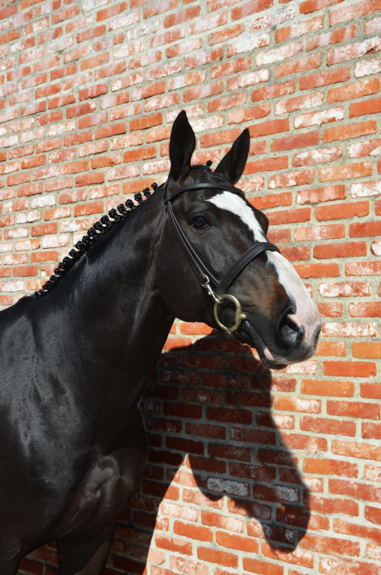 Le blue diamond vant ruytershof | JV Horses